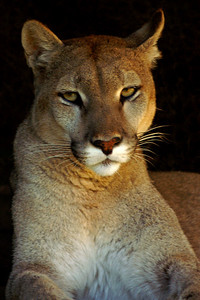 Pumara - a tame puma lady that loves being petted and playing with a basketball