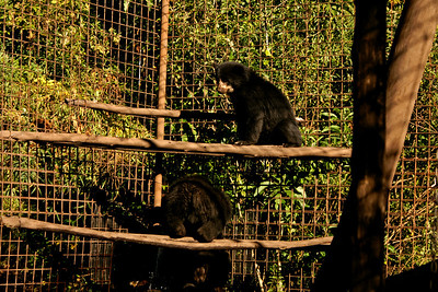 The Andean Bears