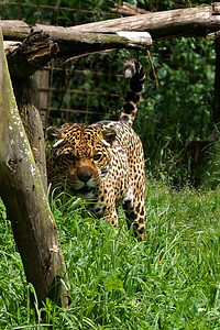 This jaguar has been badly mistreated - spectators paid its former owner to be able to do anything they want to this beautiful animal (that was trapped in a tiny cage).