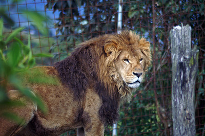 Another one of the lions