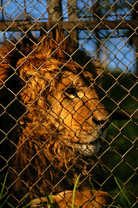 Unfortunately releasing the animals into the wild is not always possible. These lions cannot go back to Africa because they might carry Southamerican diseases, but cannot be released in Southamerica either because they would endanger the domestic game animals.