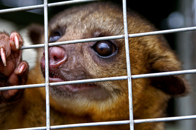 One of the Kinkajous (normally a nocturnous animal)