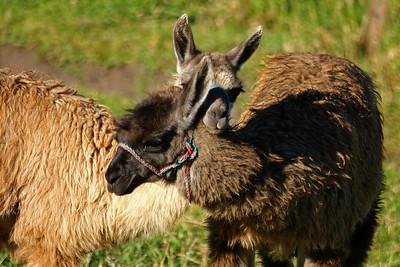 Two llamas serve as lawn mowers :)