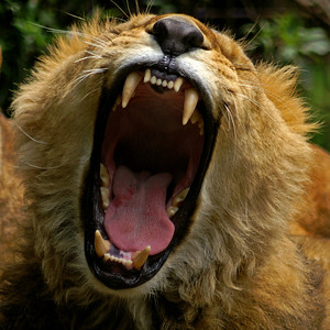 Good morning... the lions did a pretty good job waking us up early every morning with their roaring
