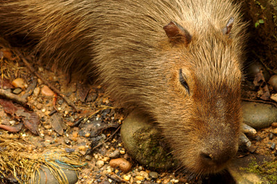 The biggest rodent of the world - can't recall its name though