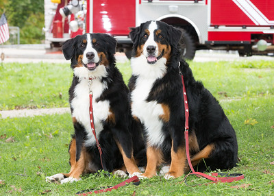 Bernese Mountain Dog Parade
