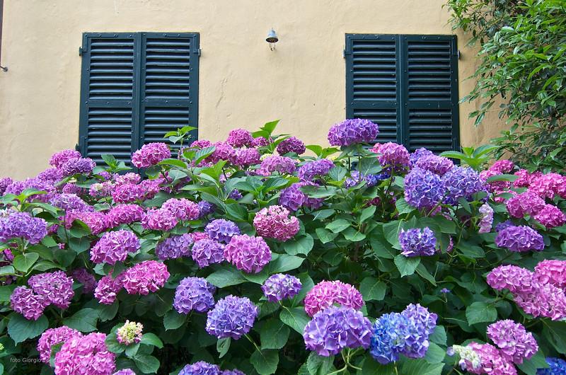 Ortensia (Hydrangea) - parco de Il Torrione