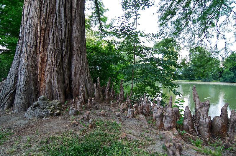 tassodio delle paludi o cipresso calvo (Taxodium distichum) con pneumatofori - parco de Il Torrione
