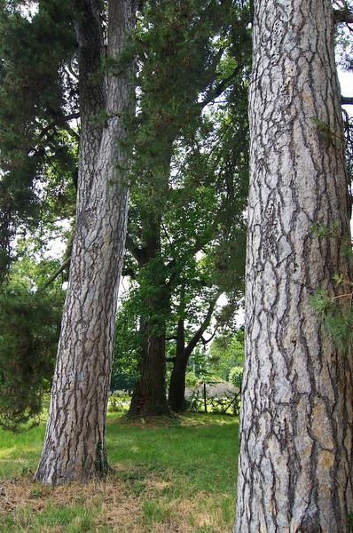 Pino nero (Pinus nigra) e liriodendro (Liriodendron tulipifera o albero dei tulipani), Campo dei Miracoli - Campiglione Fenile