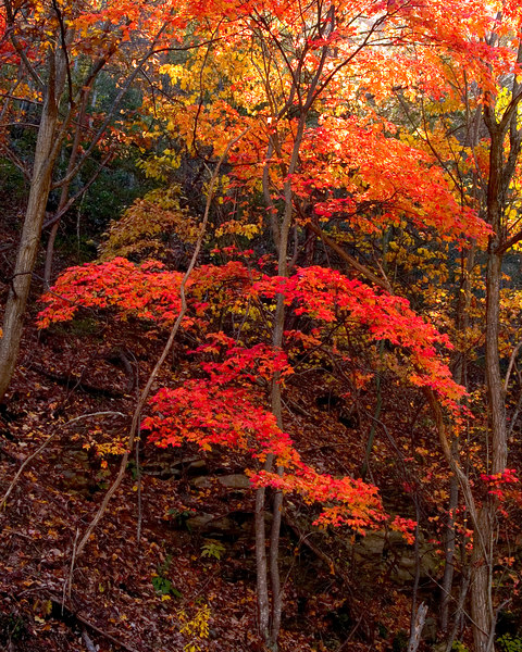 Maple Tree, Route 43, Buchanon, Virginia<br /> October 30, 2006