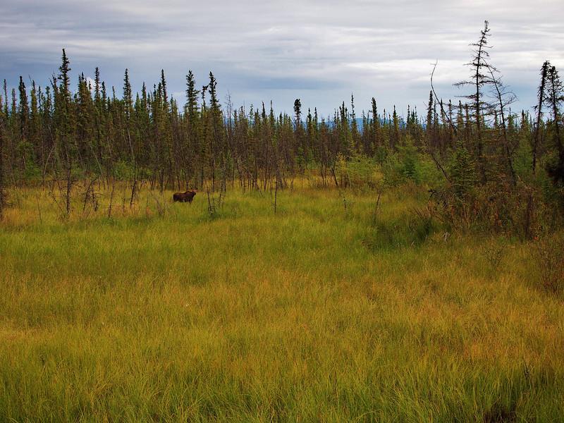 Moose along the Alaskan Highway