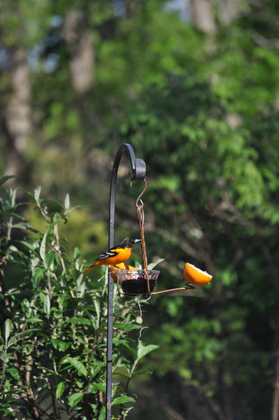 "...as a feast of grape jelly and oranges attracted a Baltimore oriole to this feeder.  <font size=""2"">Photo by Henrietta Yelle</font>"