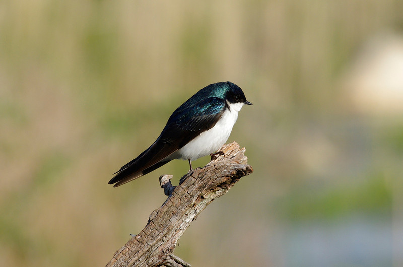 Steven Whitebread of the South Shore Sanctuaries Team captured this sharp tree swallow...