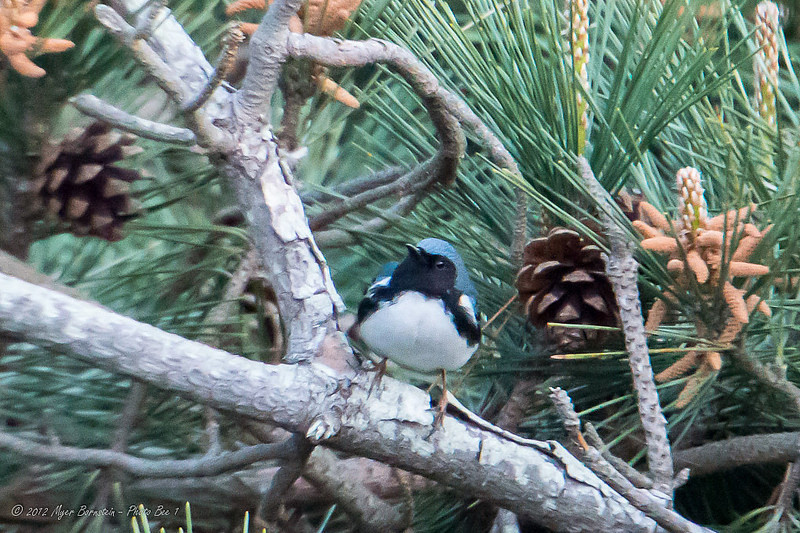 "And oh, the birds they found -- like this stunning, black-throated blue warbler snapped by the Allens Pond Team...  <font size=""2"">Photo by Myer Bornstein</font>"