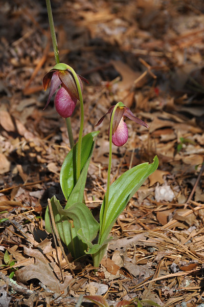 "as well as this delicate lady slipper...  <font size=""2"">Photo by Henrietta Yelle</font>"