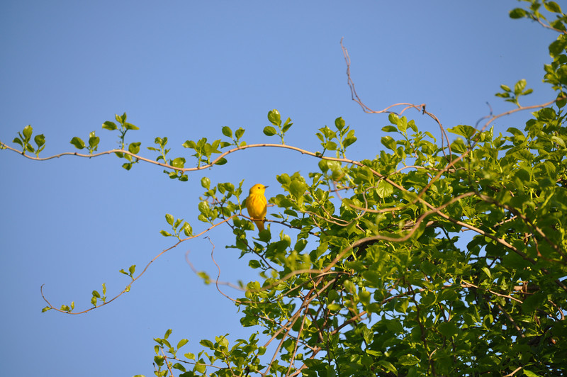 "A yellow warbler was sitting in the sun waiting for the Gaggle to snap its picture...  <font size=""2"">Photo by Henrietta Yelle</font>"