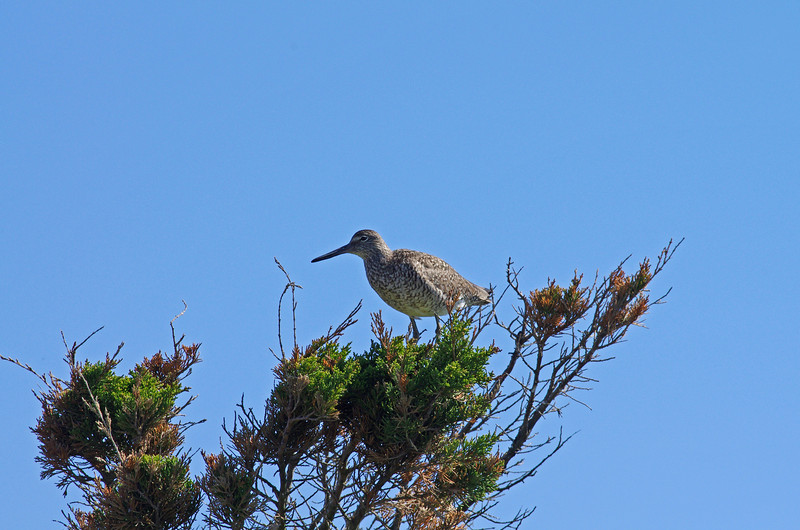 "...and this elegant willet.  <font size=""2"">Photo by Steven Whitebread</font>"