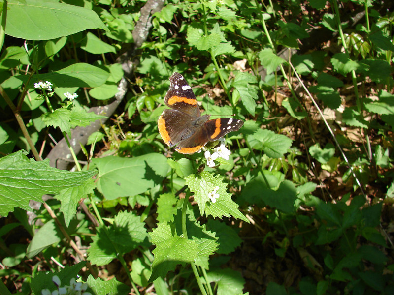 "...and this red admiral butterfly (oh no --is that garlic mustard?)...  <font size=""2"">Photo by Melissa Hansen</font>"