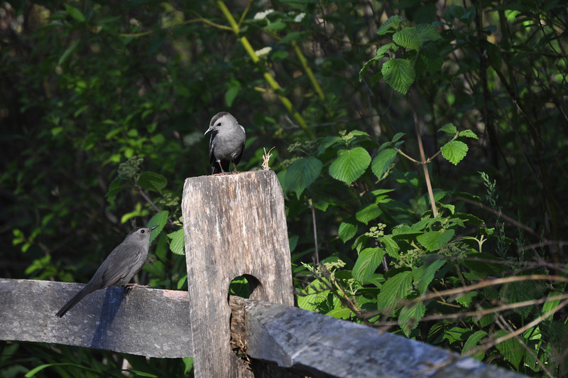 "As do these striking gray catbirds.  <font size=""2"">Photo by Henrietta Yelle</font>"