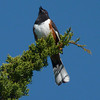"...while the Habitat Team admired this singing Eastern towhee on Plum Island.  <font size=""2"">Photo by Roger Wrubel</font>"
