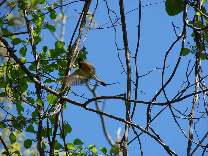 "A colorful redstart showed itself to the team from Broadmoor.  <font size=""2"">Photo by Melissa Hansen</font>"