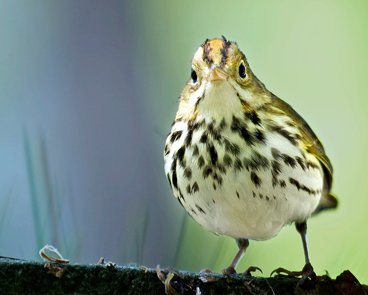 This year's logo was inspired by this adorable ovenbird photographed by Mary Dineen.