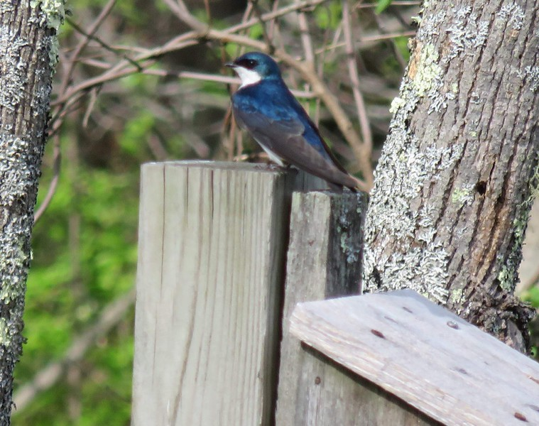 Tree Swallow © Deborah Radovsky
