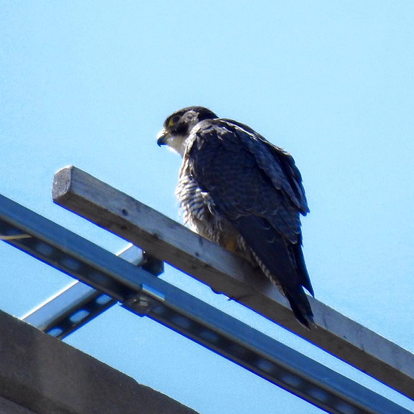 Peregrine Falcon, Team Wellfleet Bay