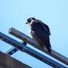Peregrine Falcon, Team Wellfleet Bay