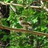 Ovenbird © Deborah Radovsky