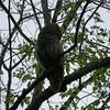 Barred Owl © Deborah Radovsky
