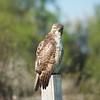 Red-tailed Hawk © Justin Barrett