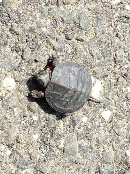 Turtle Bird (Painted Turtle)