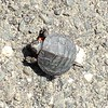 Turtle Bird (Painted Turtle)