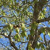 Blackburnian Warbler © Henrietta Yelle