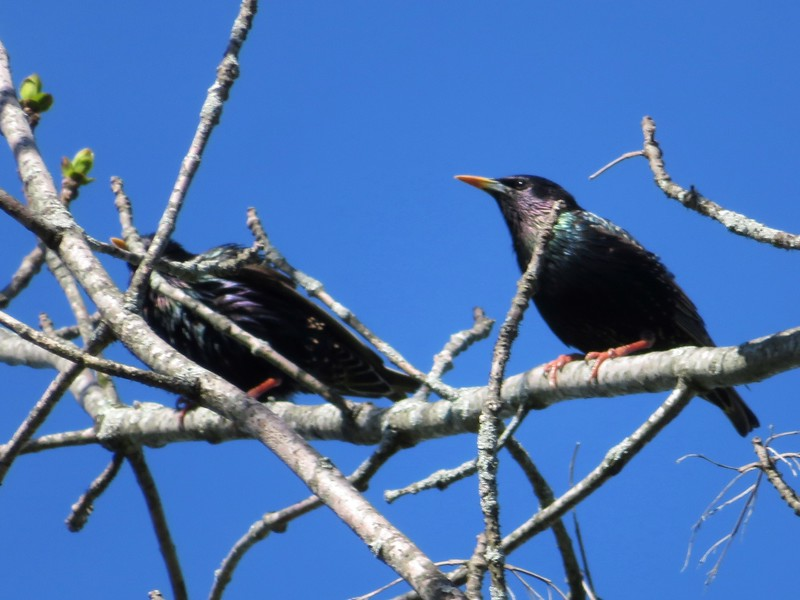 European Starlings at Mount Auburn Cemetery