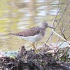 Solitary Sandpiper at Stony Brook Wildlife Sanctuary