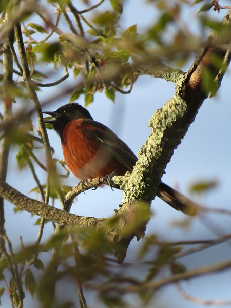 Orchard Oriole at Stony Brook Wildlife Sanctuary