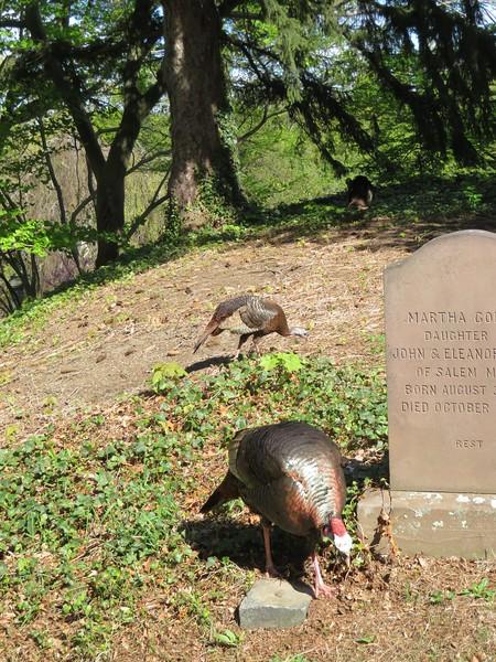 Wild Turkeys at Mount Auburn Cemetery