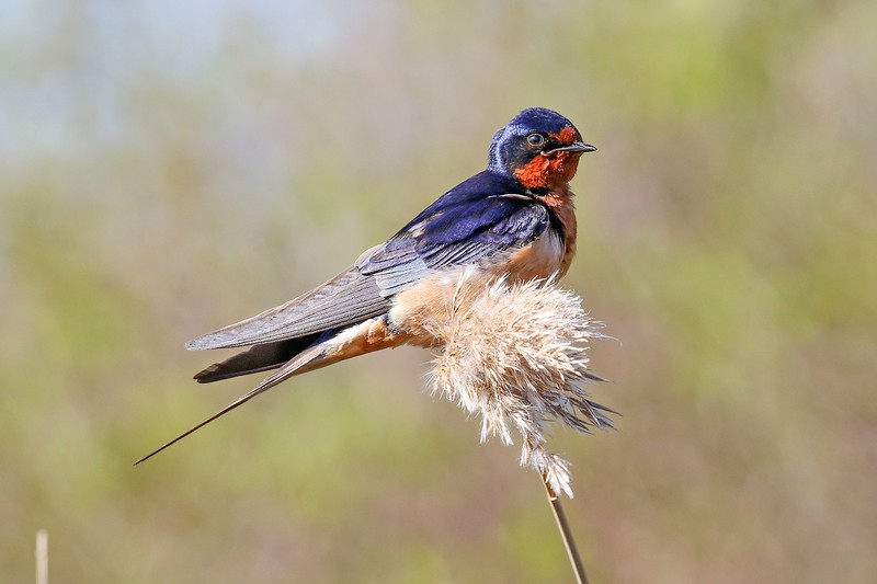 Barn Swallow at Daniel Webster Wildlife Sanctuary in Marshfield, MA