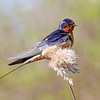 Barn Swallow at Daniel Webster Wildlife Sanctuary in Marshfield, MA