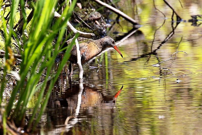 Virginia Rail at Burrage Pond Wildlife Management Area in Hanson
