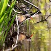 Virginia Rail at Burrage Pond Wildlife Management Area in Hanson