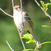 Field Sparrow at Mount Auburn Cemetery