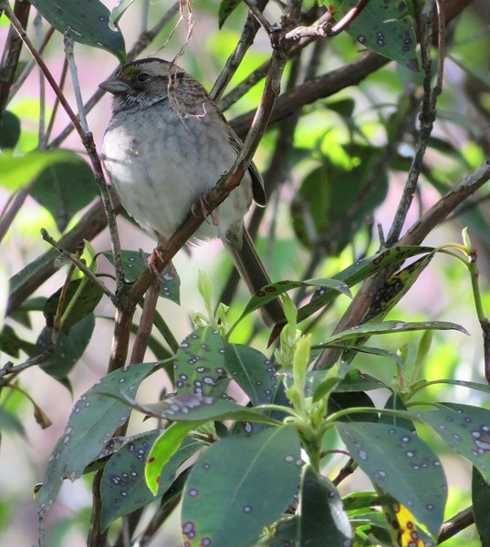 White-Throated Sparrow at Mount Auburn Cemetery