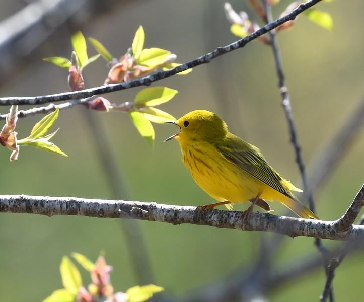 Yellow Warbler at Tidmarsh Wildlife Sanctuary