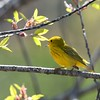 Yellow Warbler at Tidmarsh Wildlife Sanctuary