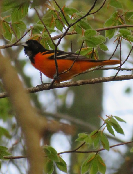 Baltimore Oriole at Stony Brook Wildlife Sanctuary