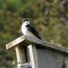 Tree Swallow at Stony Brook Wildlife Sanctuary