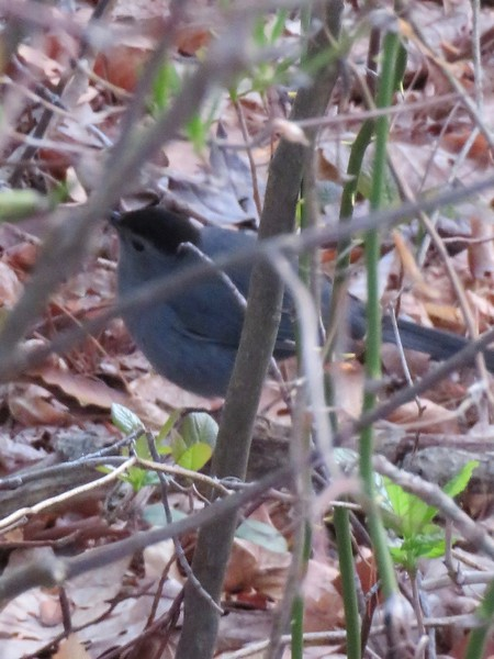 Gray Catbird at Stony Brook Wildlife Sanctuary